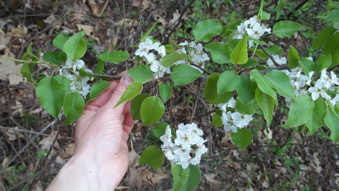 Callery pear a bad bad plant with pretty flowers picture mightylinksfo