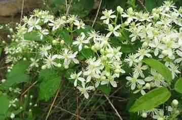 Native or invasive clematis httpmc iris the native virgins bower clematis virginiana is in full bloom in indiana from august to september looking like a blanket of white flowers spread over mightylinksfo